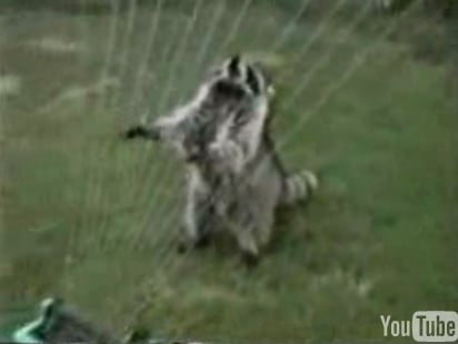 Cute Alert: Raccoon Plays the Harp
