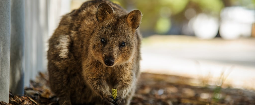 Meet the Quokka — the Happiest Animal Ever