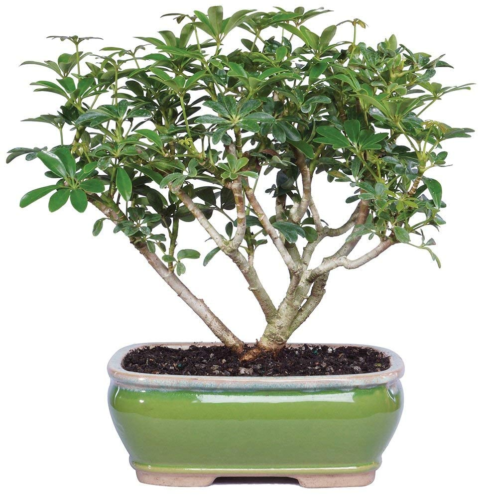 Brussel S Bonsai Live Hawaiian Umbrella Indoor Bonsai Tree You Can Buy Your Very Own Avocado Tree On Amazon So Guacamole For Everyone Popsugar Home Photo 7