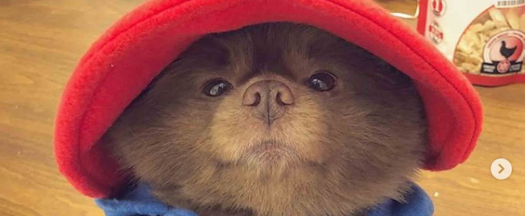 Pomeranian Dressed Up as Paddington Bear