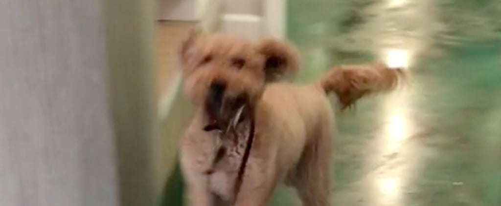 Goldendoodle Dog Running to Owner With Leash at Day Care