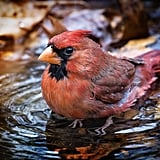 This cardinal who prefers nice, long baths to quick showers.