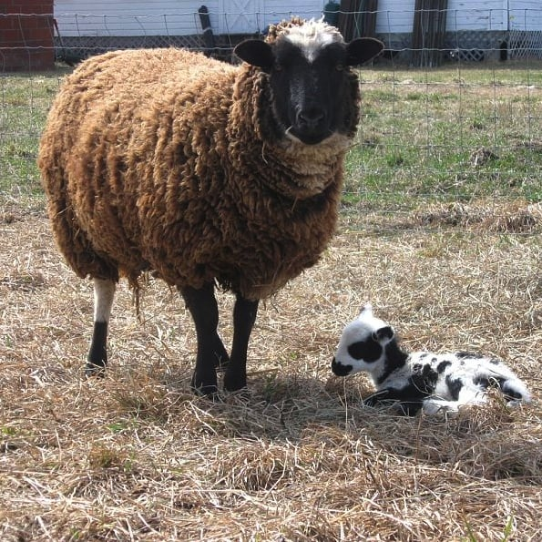 Pictures of Baby Lambs