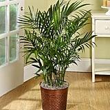 Cateracterum Palm