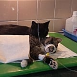 Polish Nurse Cat