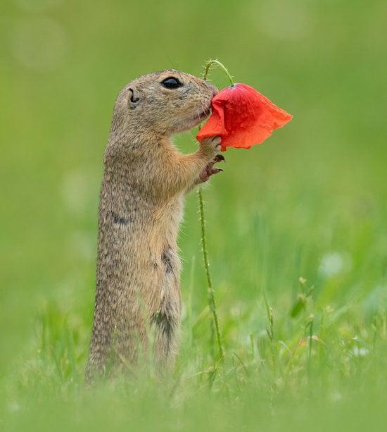 Photos of Squirrel Smelling Flowers From Dick van Duijn