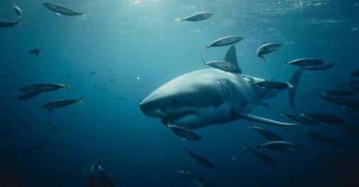 Tracking Great White Sharks