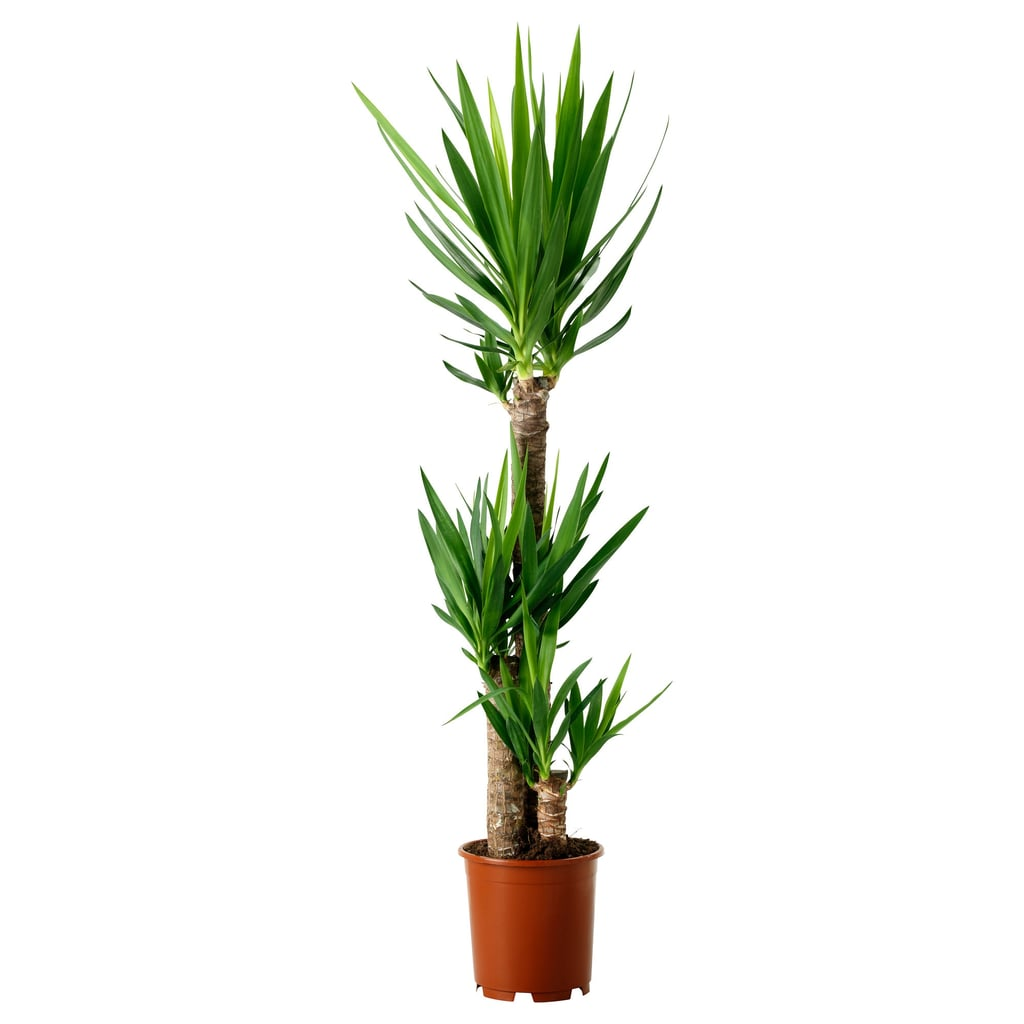 Yucca Elephantipes Potted Plant