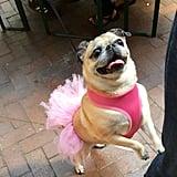 Tiny Dancer Pug