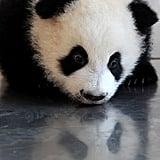 Giant Panda Babies!