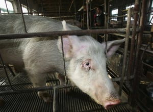 PETA Releases Disturbing Pig Farm Video