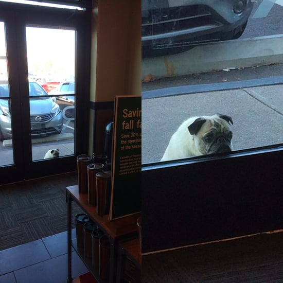 Pug Dog Waiting For Owner at Starbucks