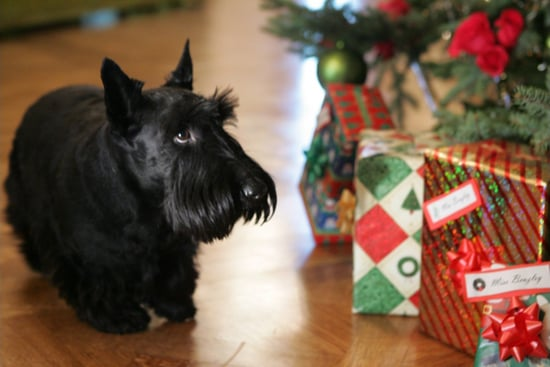 One of President George W. Bush's canine pals, Barney, checks out the presents under the White House tree. Source: George W. Bush Presidential Library