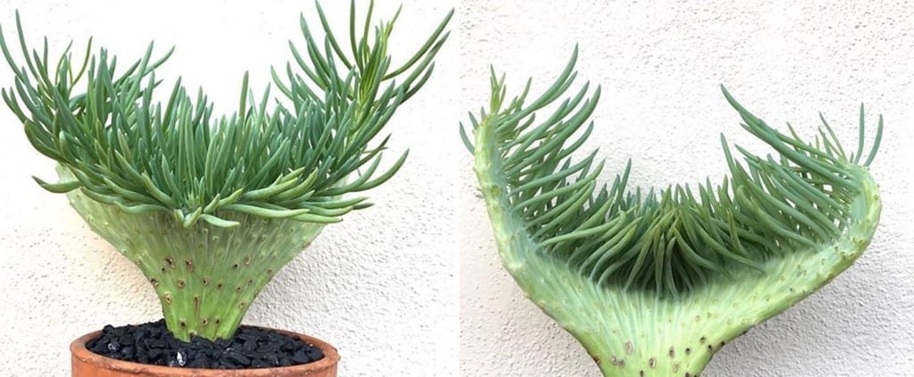 These Mermaid Succulents Bring the Seaside Closer to Home