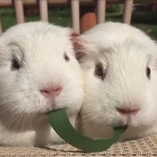Guinea Pigs Eating a Leaf