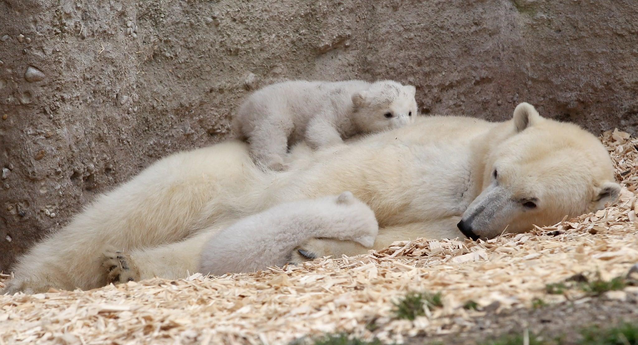 Polar Bear Cubs Sleep on Mom