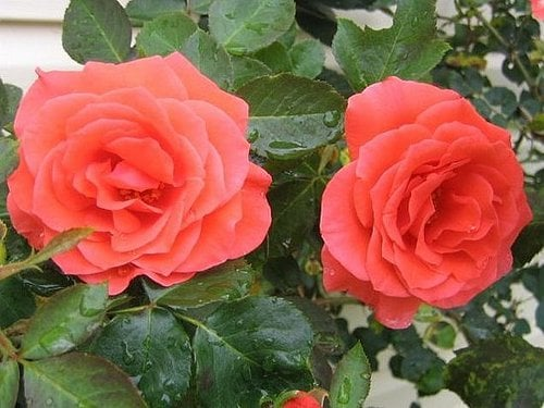 Su Casa: The Bloom's on These Roses