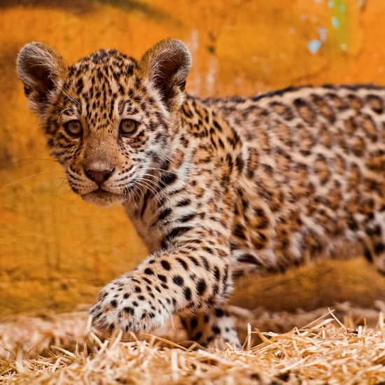 Differences Between Leopards, Jaguars, and Cheetahs