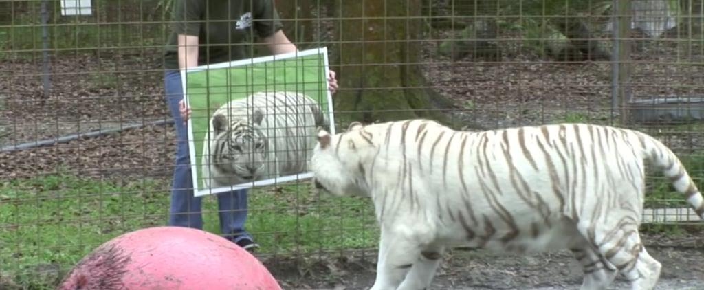 فيديو لقطط تنظر في المرآة