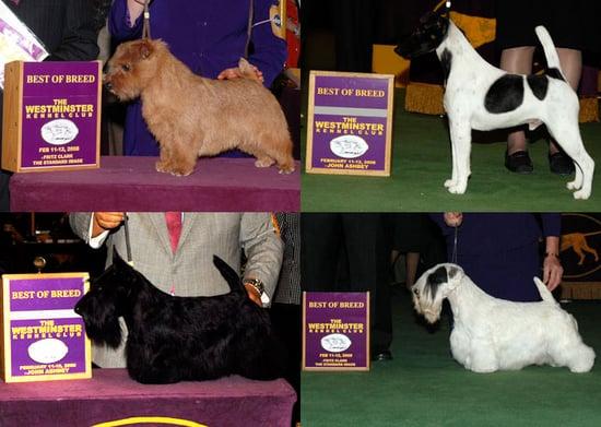 2008 Westminster Winners: Terrier Group