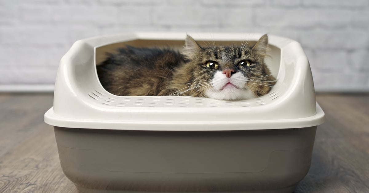 Does Your Cat Like to Hang Out in the Litter Box? 2 Vets Explain What It Means