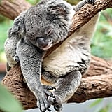 This koala, who stopped caring what you thought a LONG time ago.