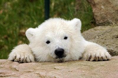 Flocke the Polar Bear Gallery