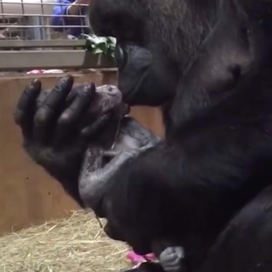 Gorilla Kissing Newborn Baby