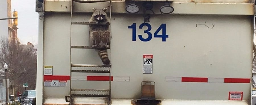 This Raccoon Hitched a Ride on the Back of a Trash Truck and It Was Relatable AF