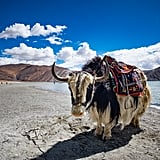 Ride Through Tibet on a Yak