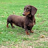 New York City's Dog: Dachshund