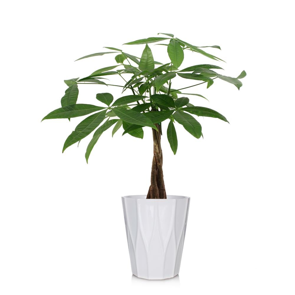 Money Tree Plant in Ceramic Pot | Best Trees and Plants From Home Depot | POPSUGAR Home Photo 41