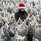 Christmas trees were set out on display in Rungis, France, at the world's largest wholesale market.