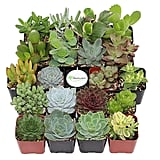 Succulents Collection