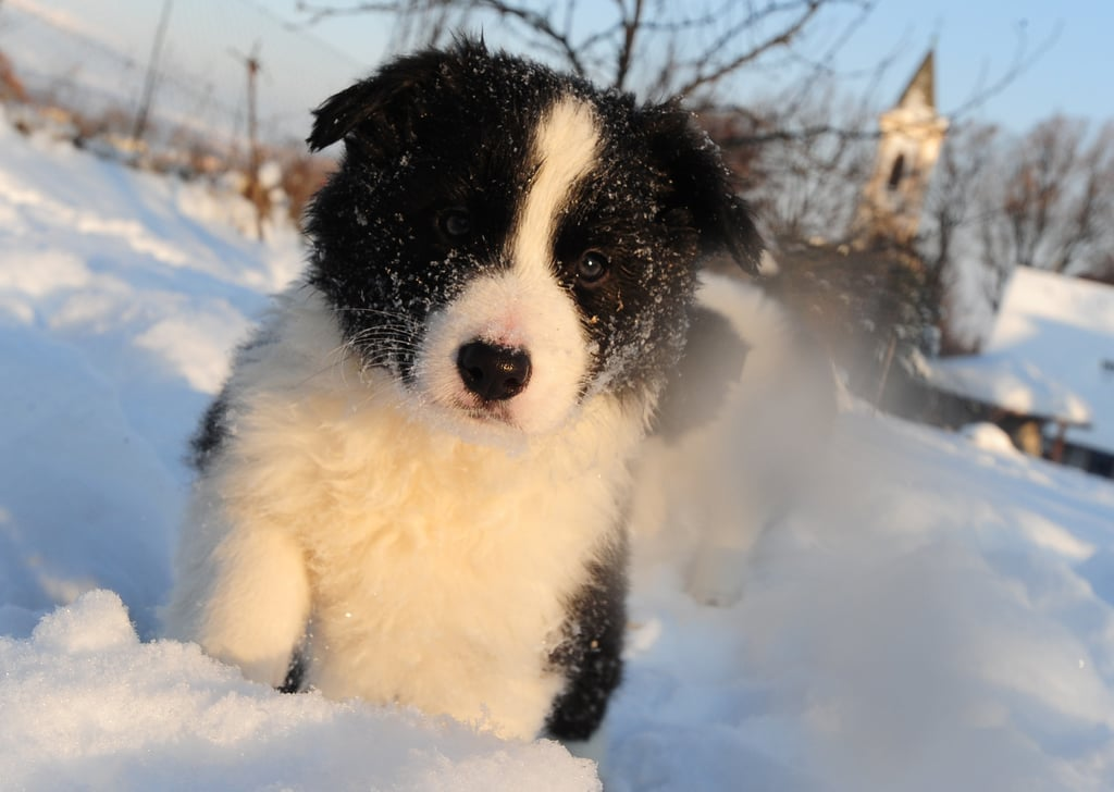 Border Collie Puppies Playing in Snow