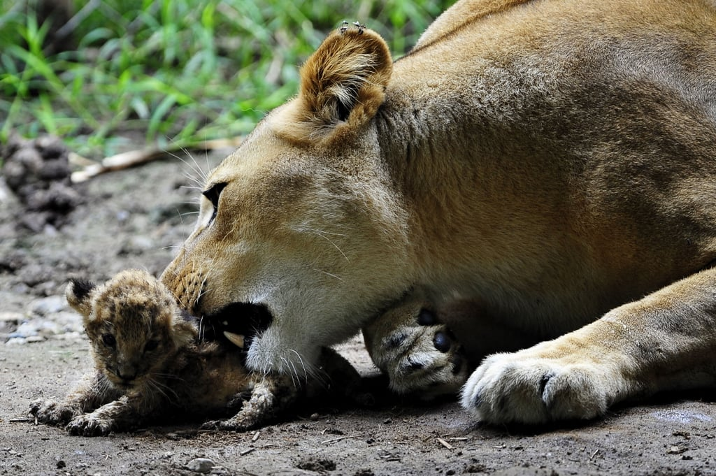 Caring Lion Licking Lil Cub