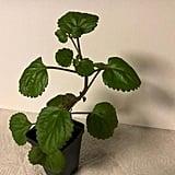 Purple Swedish Ivy Plant