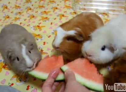 Cute Alert: Guinea Pig Watermelon Eating Party