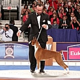 "Boxer GCH CH Winfall Brookwood Styled Dream (""Scarlett"") battled her way to number one in the Working group. Source: AKC/Robert Young"