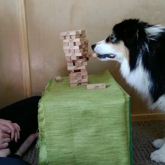 Watch This Australian Shepherd Play a Game of Jenga