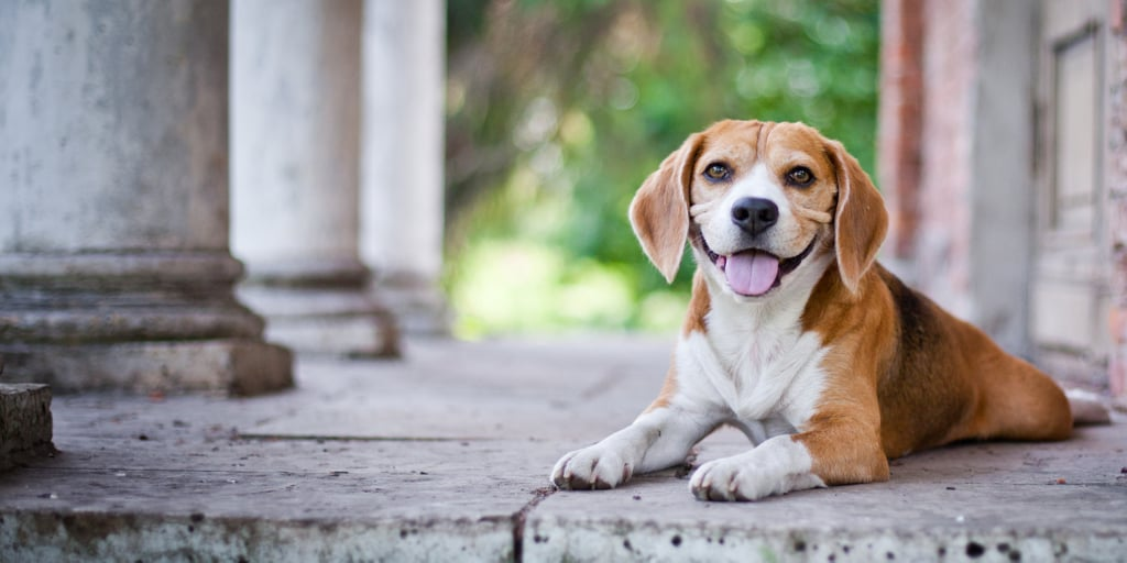 What Do You Know About Beagles?