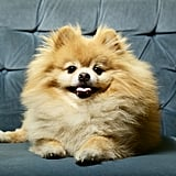 Cute Pomeranian Pictures