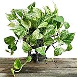 Pothos Marble Ivy