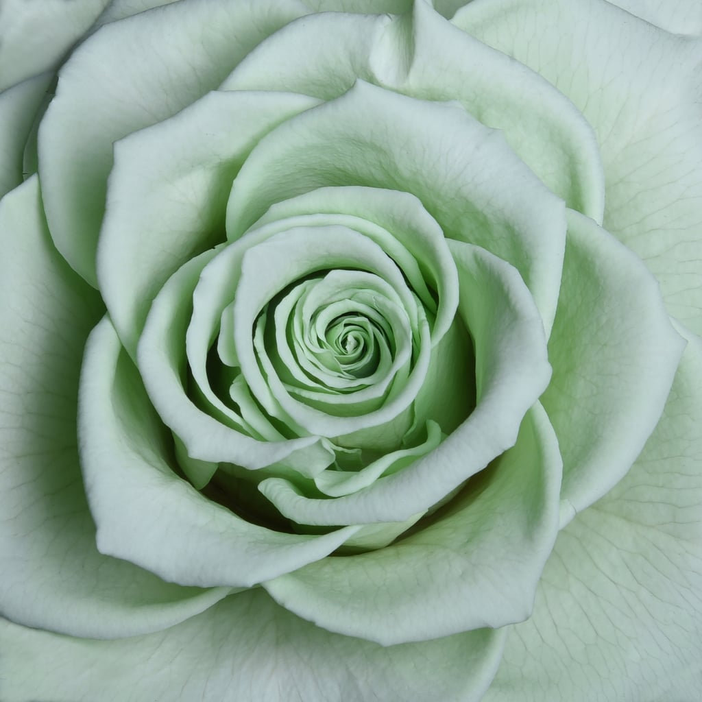 Lime Green | Rose Color Meaning | POPSUGAR Middle East Smart Living ...