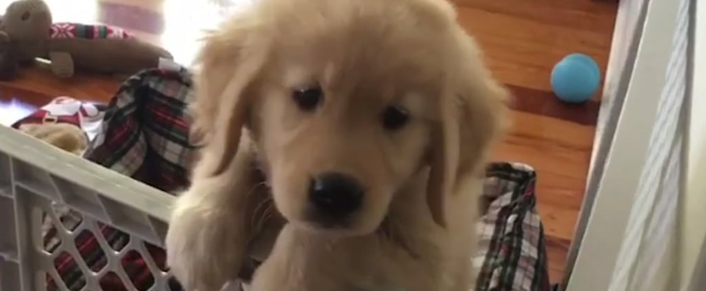 Cute Videos of Golden Retriever Puppies