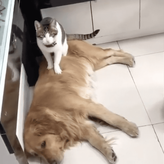 Golden Retriever's Reaction to a Cat Sitting on His Sibling