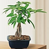 Brussel's Money Tree Bonsai ($28)