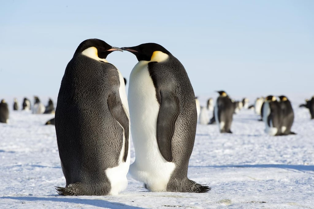 Topping out at four feet tall and up to 100 pounds, the Emperor Penguin is the tallest and heaviest of all penguin species. And these big birds can live up to 50 years.