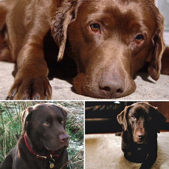 Chocolate Lab Pictures