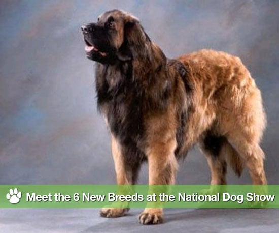 What Is the Dog Show on Thanksgiving Day on NBC and Six New Breeds in National Dog Show